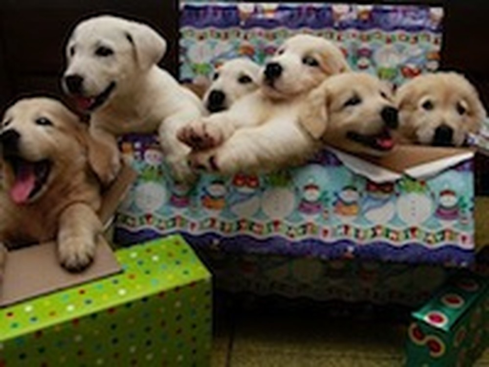 Compilation of People Getting Puppies for Christmas