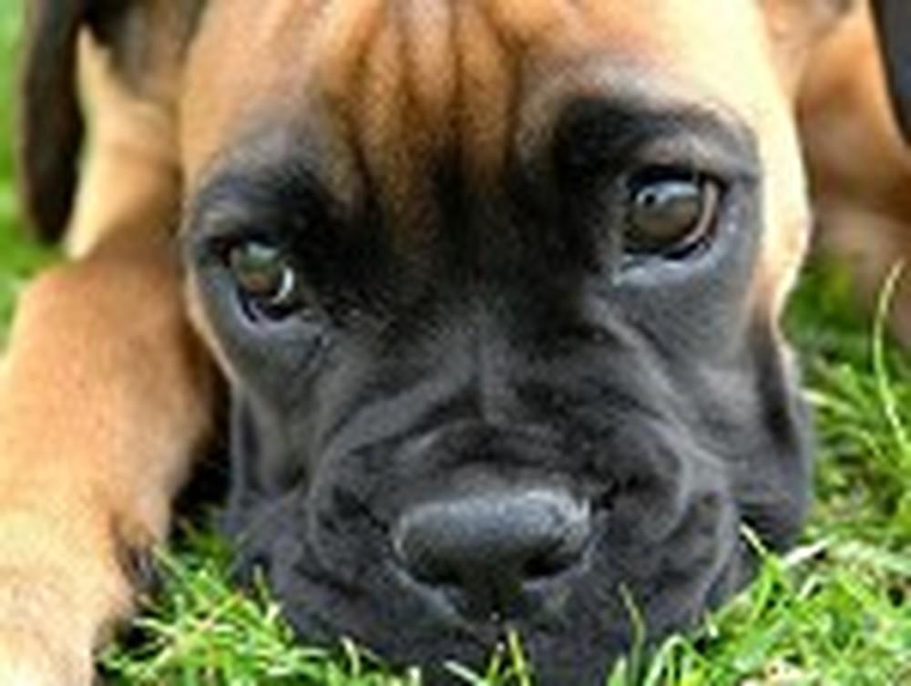 Cute Puppy Lies in the Grass