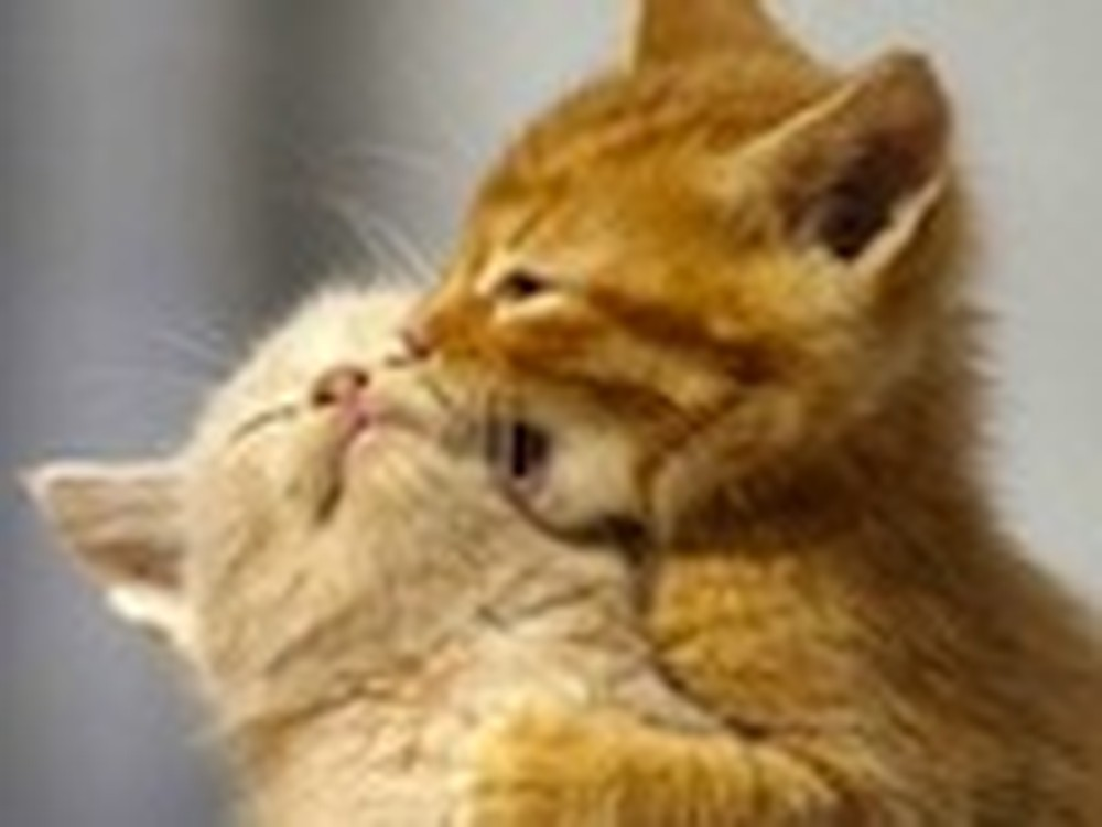 Two Kittens Cuddle with Each Other