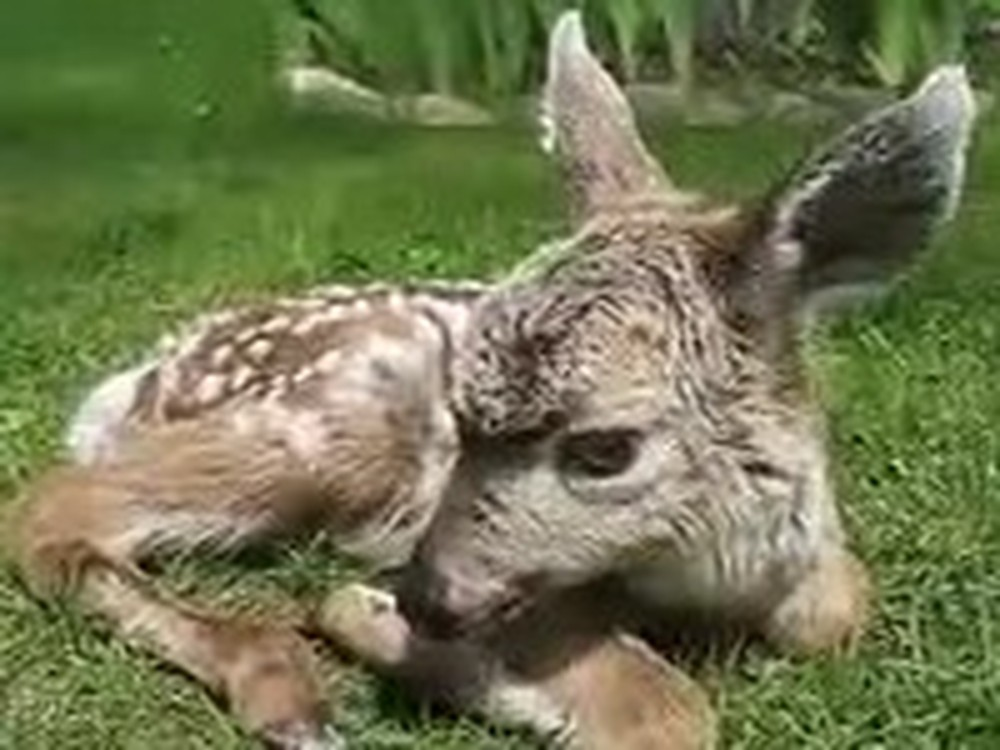 Newborn Baby Deer Gets Some Unlikely Help