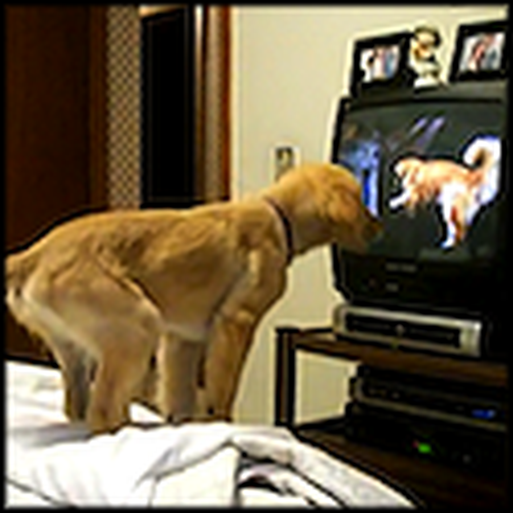 Adorable Golden Retriever Puppy Watches TV - Cute
