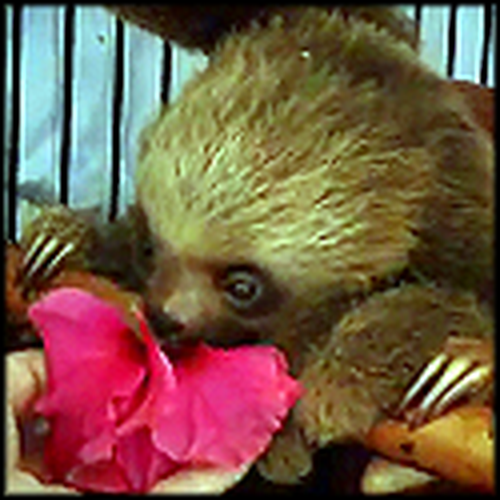 Baby Sloths Bathing and Eating Will Make You Smile