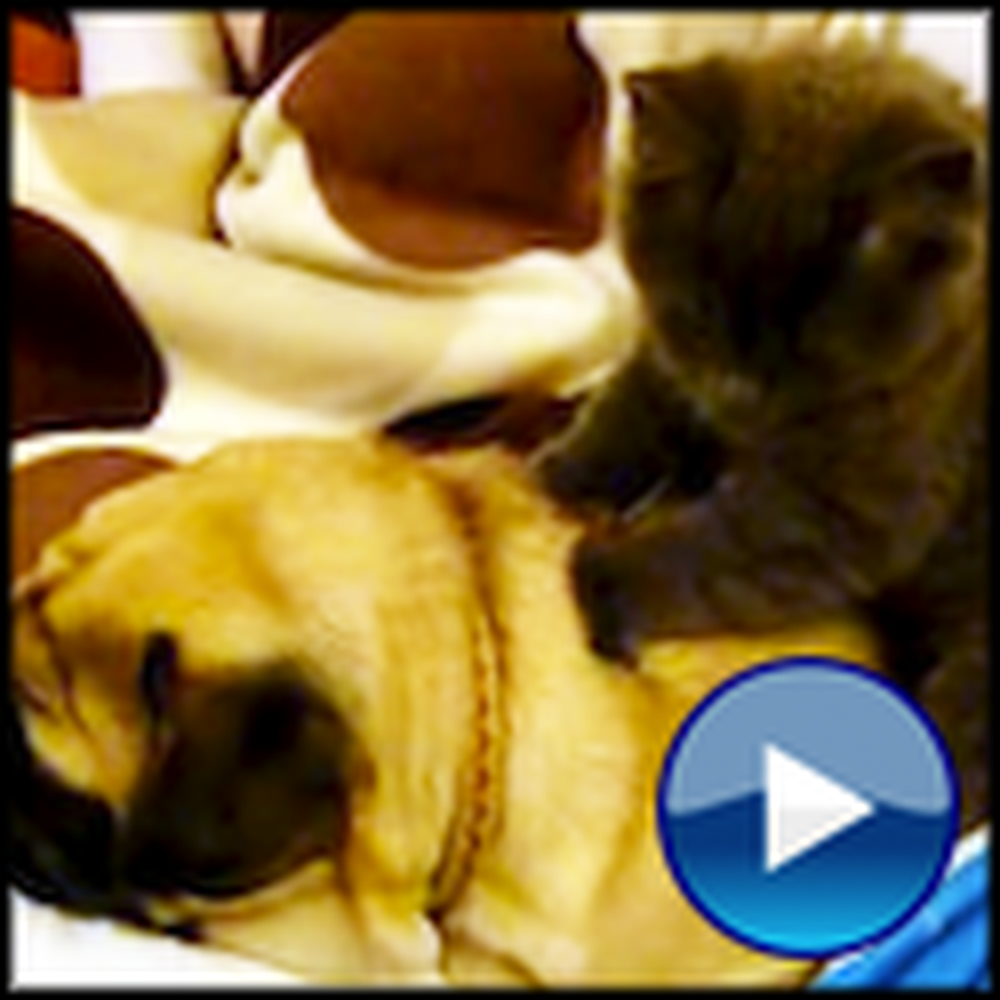 Caring Kitty Massages a Pug to Sleep - Awwww