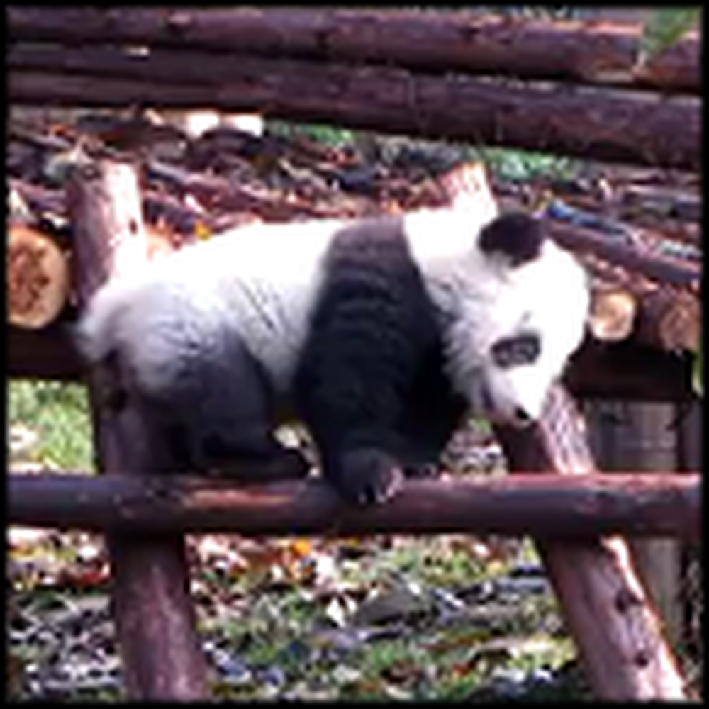 A Panda Climbing a Ladder to Make You Smile Today