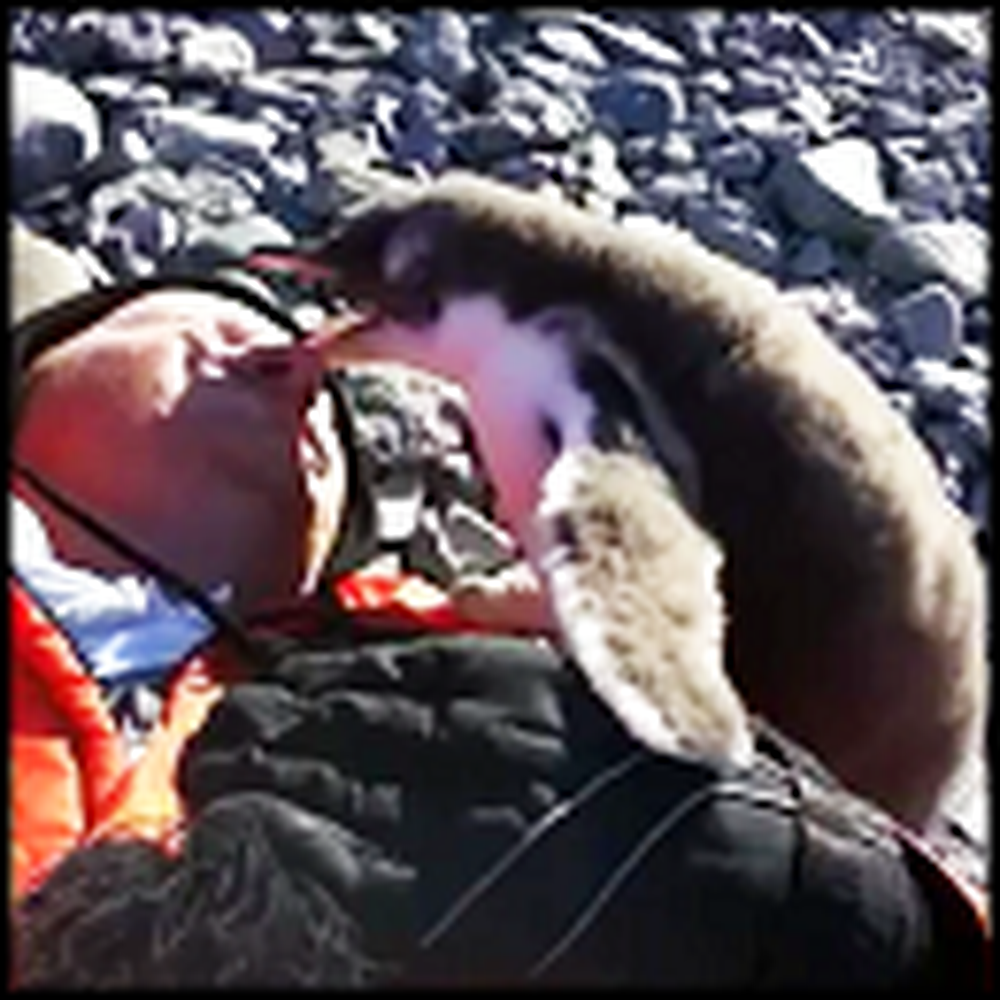 Baby Penguin Meets a Human for the First Time
