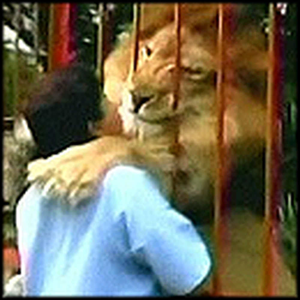 Huge Lion Hugs and Kisses his Rescuer - Awww