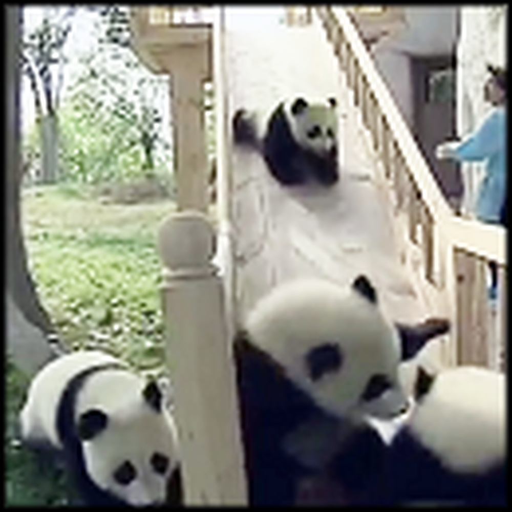 Cute Pandas Play Together on a Slide - Adorable