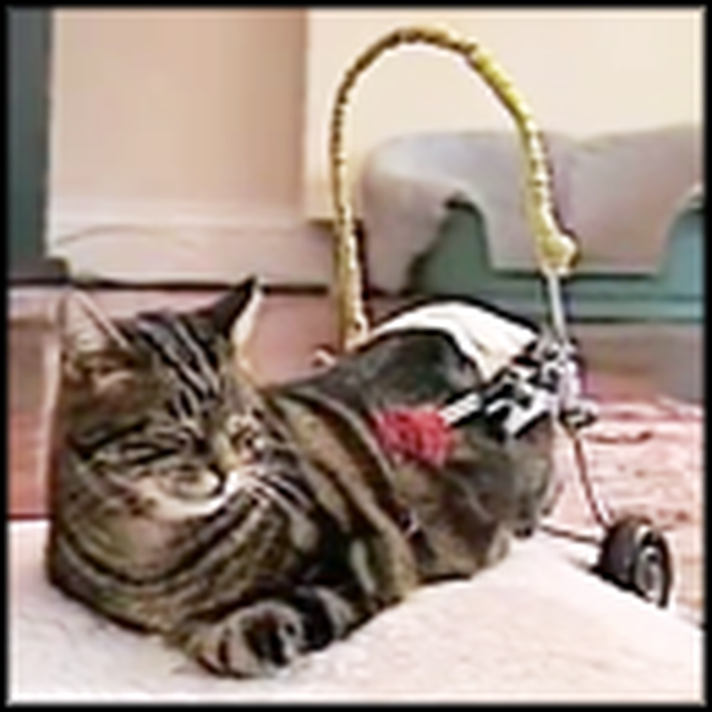 Adorable Disabled Cat Gets a Set of Wheels