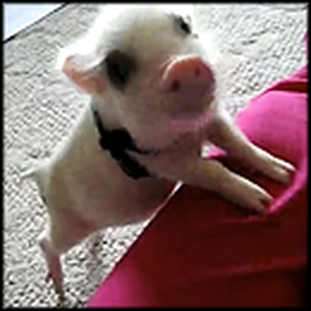 Adorable Mini Pig is Just TOO Cute to Handle