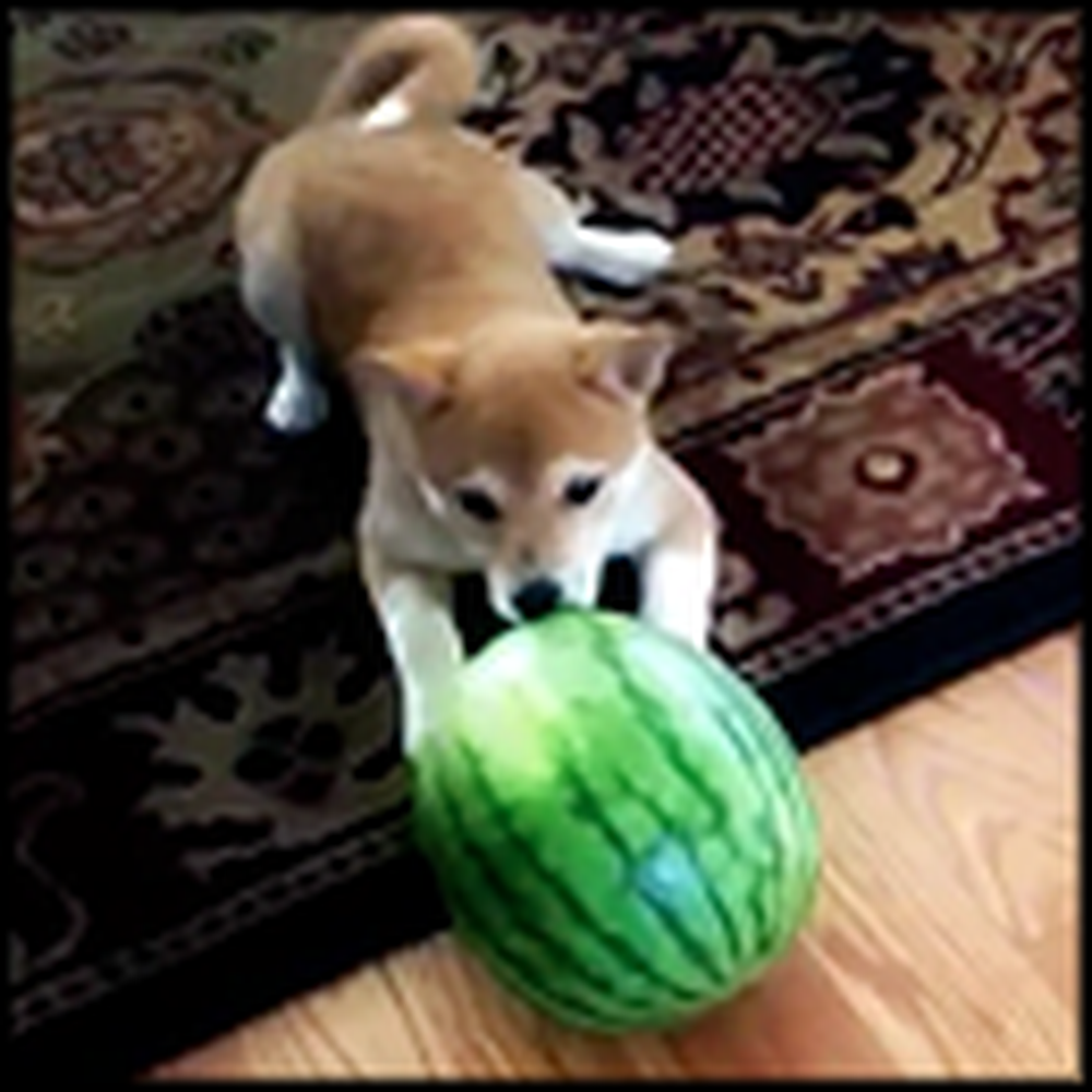 Cute Puppy Versus a Watermelon - This Will Make Your Day