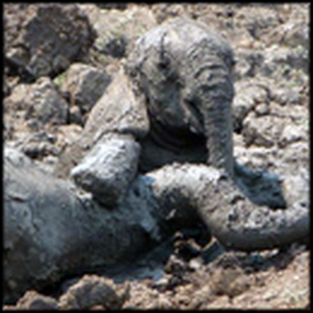 Daring Rescue of a Doomed Baby Elephant and Its Mother