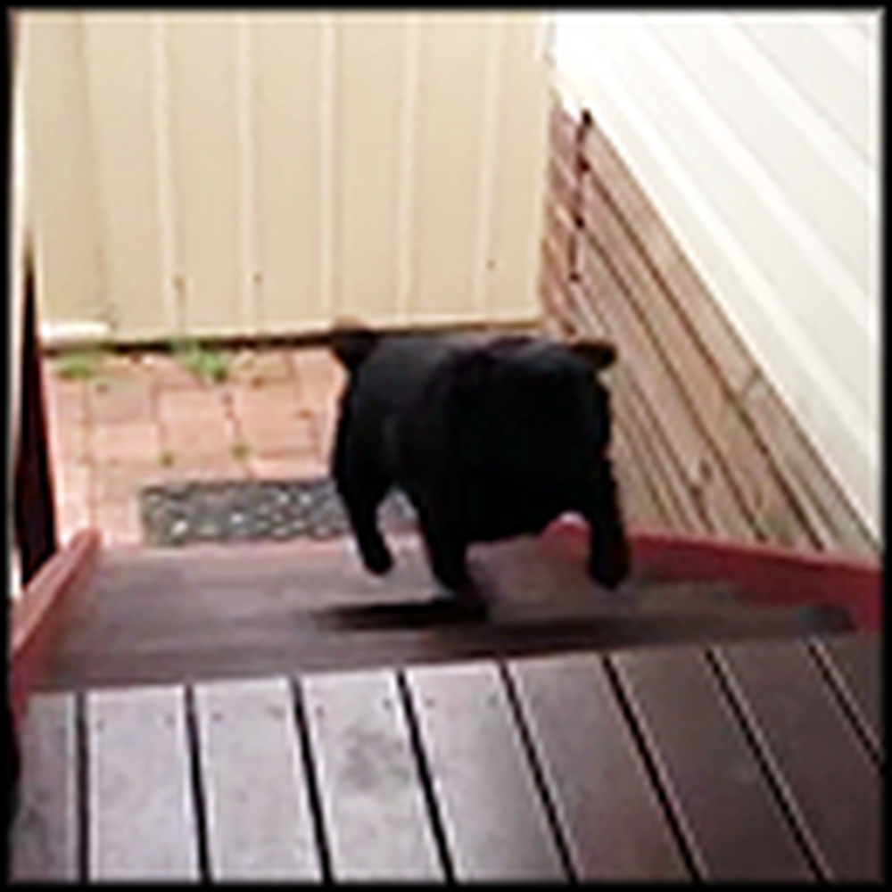 Adorable Stair Climbing Pug Will Win Your Heart