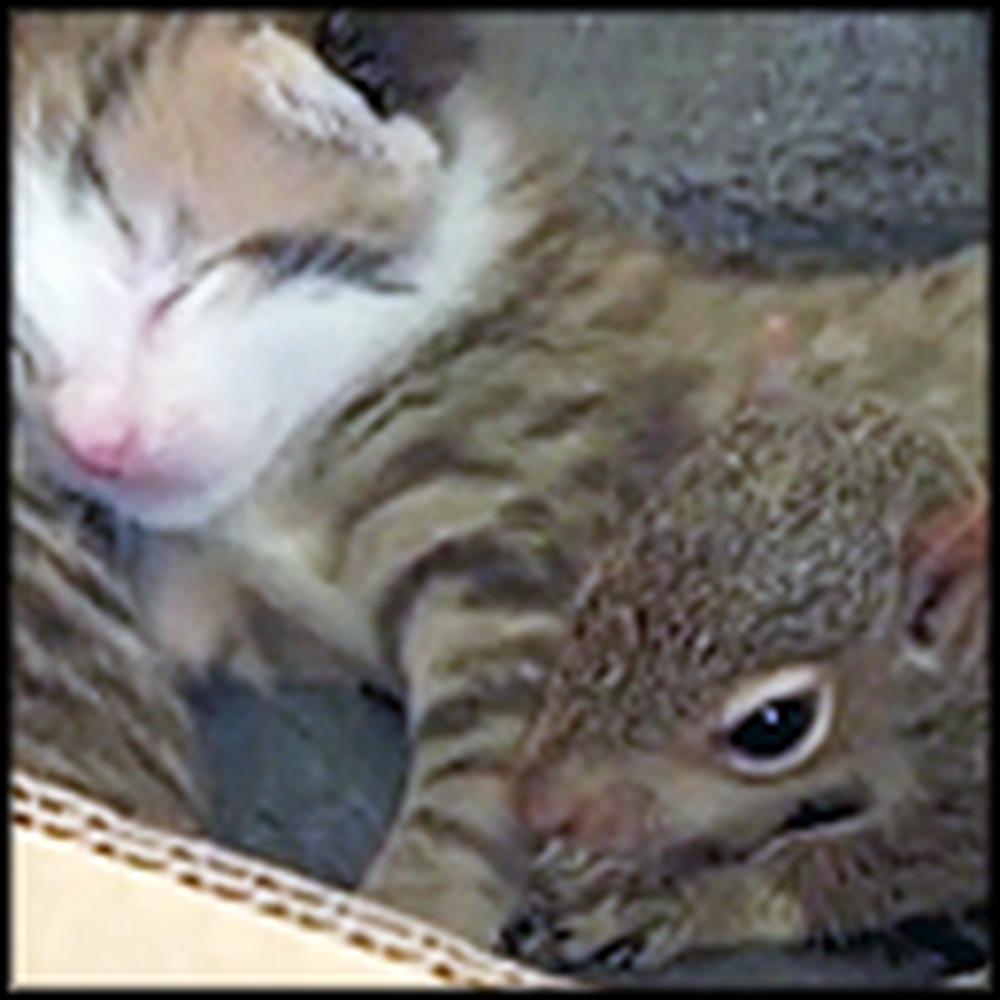 Cat Adopts an Orphaned Baby Squirrel as It's Own - He Even Purrs