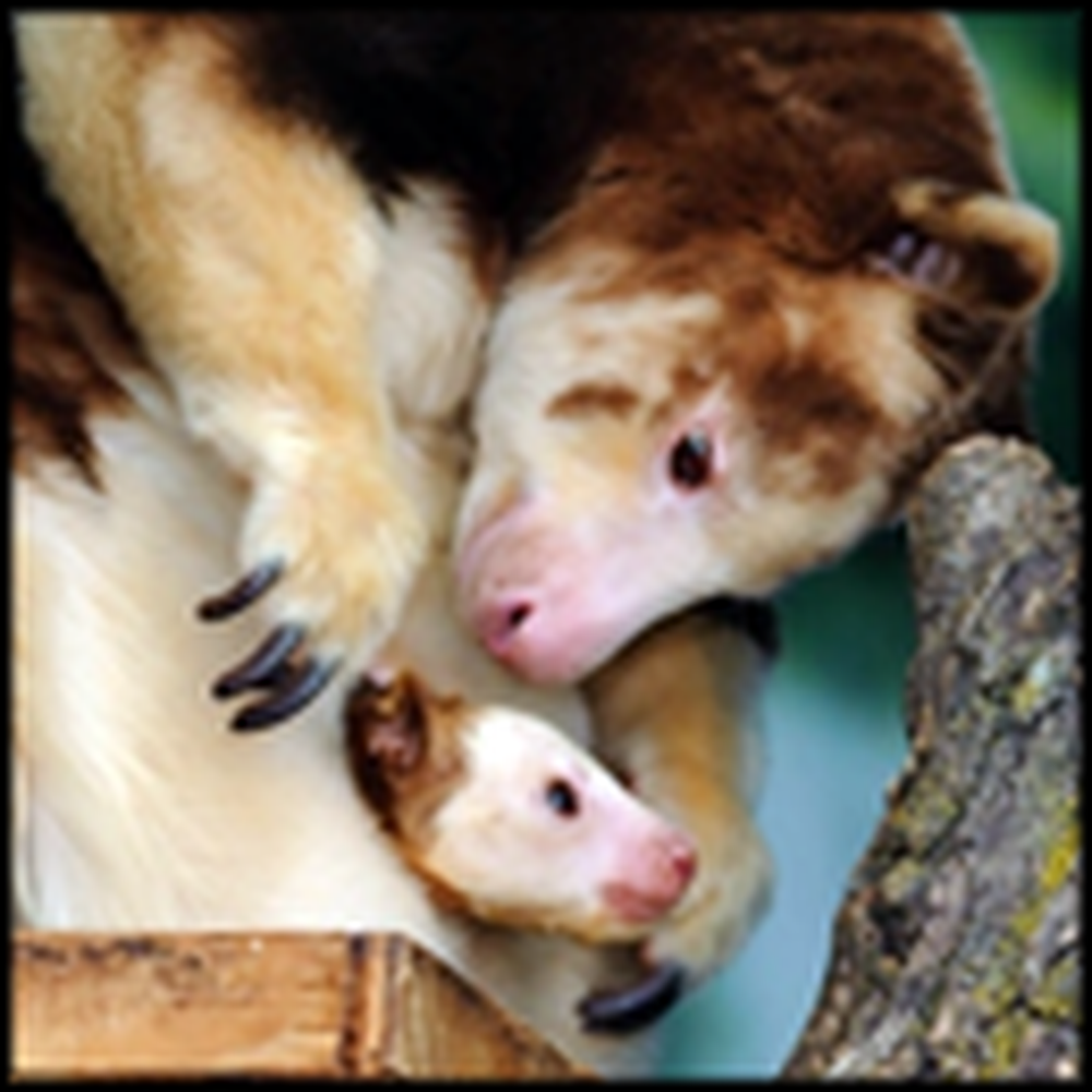 The Cutest Animal You've Never Seen Before - a Tree Kangaroo