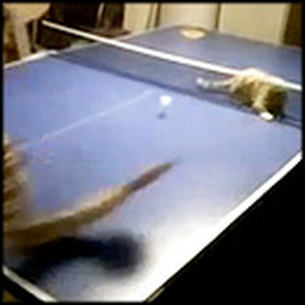 Little Boy Plays Ping Pong with his Adorable Best Friend - a Kitten