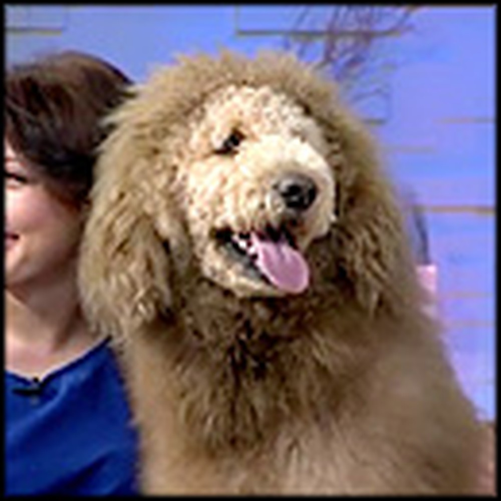 Super Cute Dog Looks Exactly Like a Lion