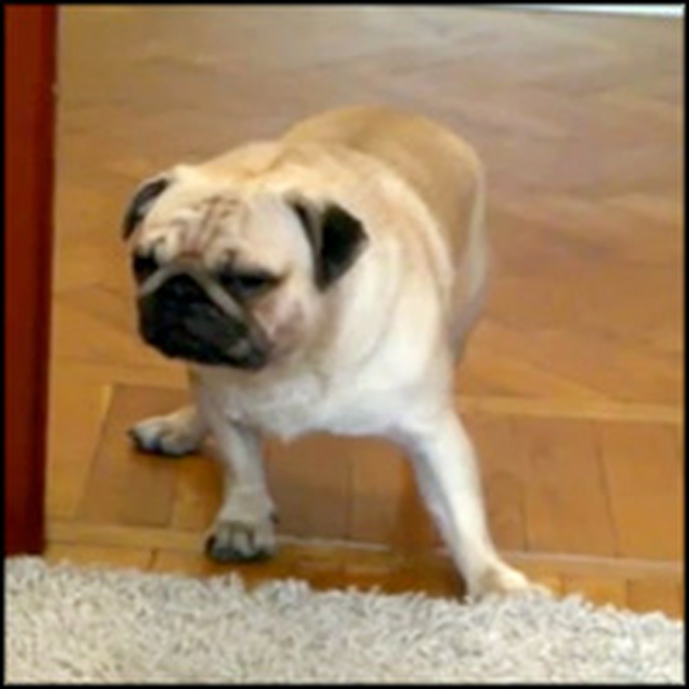 Cute Pug is So Exhausted He Falls Asleep on His Feet