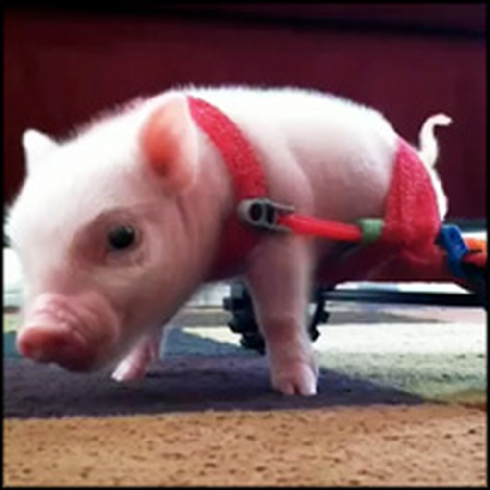 Disabled Mini Pig in a Wheelchair Will Make You Smile