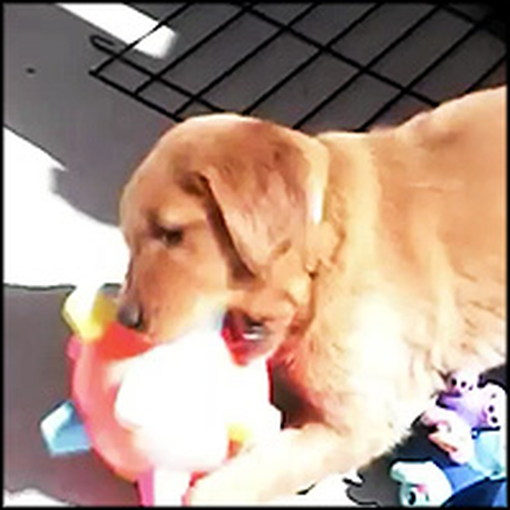 Cutest Puppy Ever Has a Blast With His New Toy
