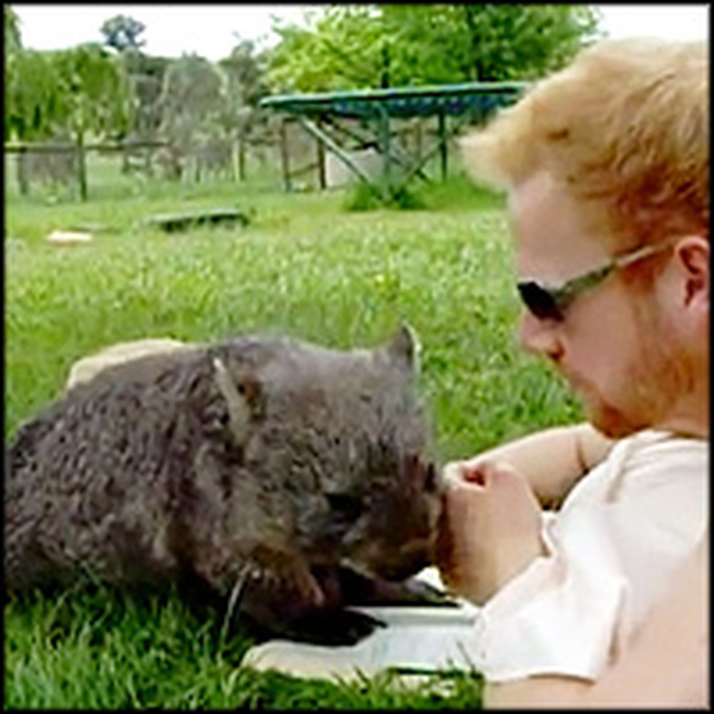 Extremely Lucky Man Cuddles with a Cute Wombat