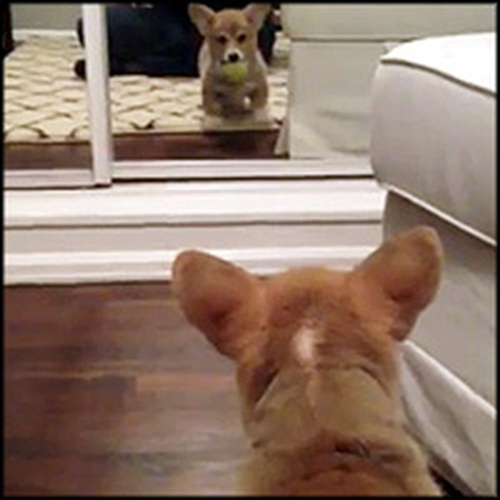 Corgi Puppy's Hilarious Reaction to Seeing Herself in the Mirror