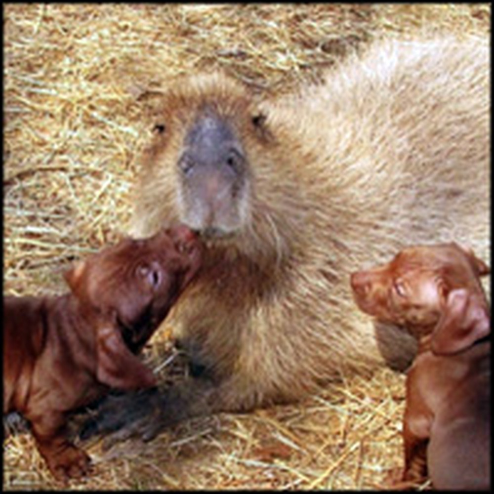 Capybara Adopts a Litter of Abandoned Puppies