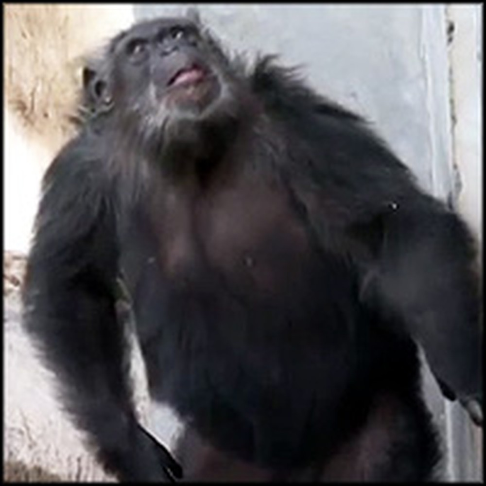 Chimps Cruelly Abused by Scientists are Finally Set Free