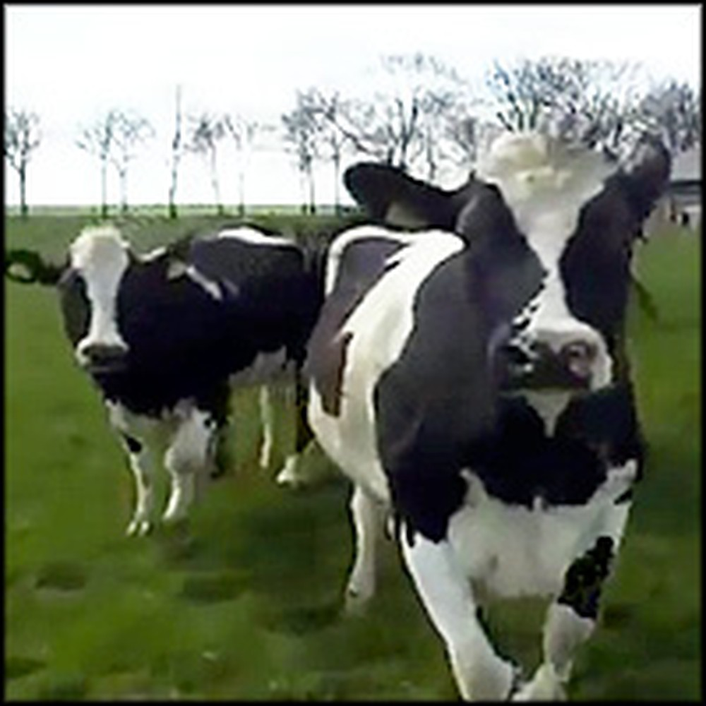 Dairy Cows Do the Cutest Thing to Celebrate Spring