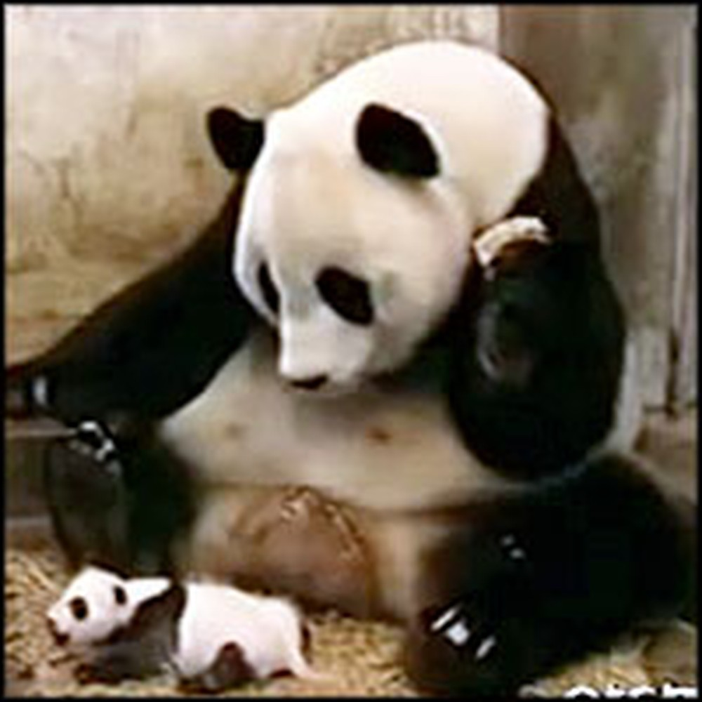 Funniest Thing Happens When a Baby Panda Sneezes