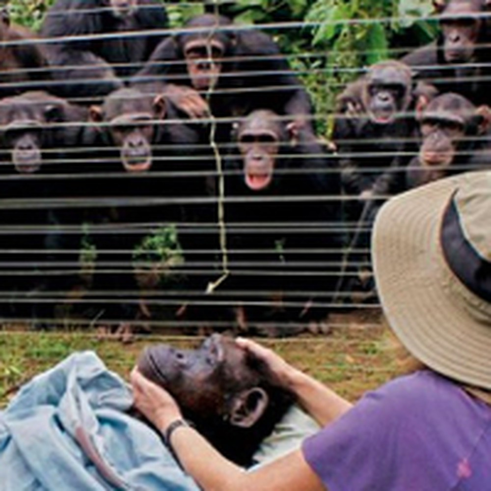 Touching Footage of Chimps Mourning the Death of One of Their Own