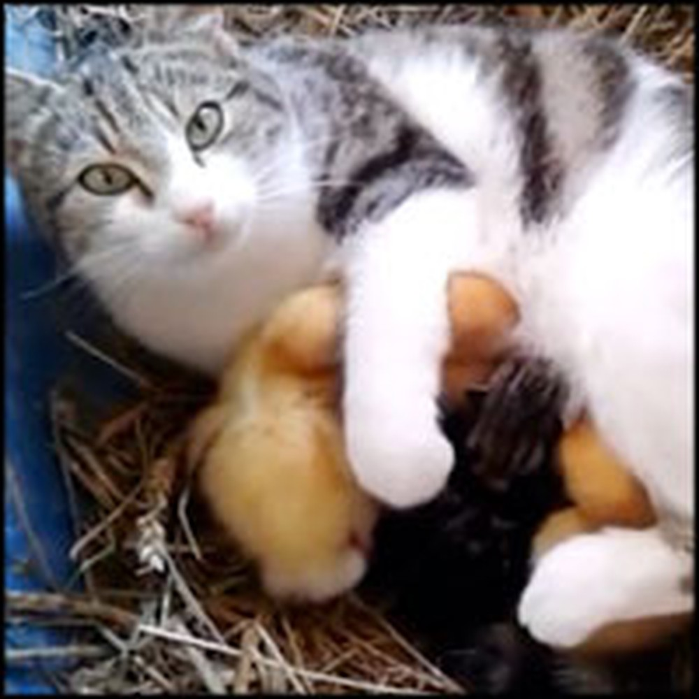 Loving Momma Cat Adopts Abandoned Ducklings