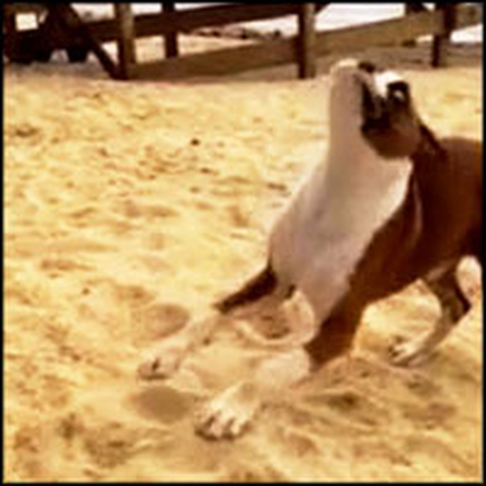 Boxer Puppy Does Something Hilarious When She Plays With a Lime