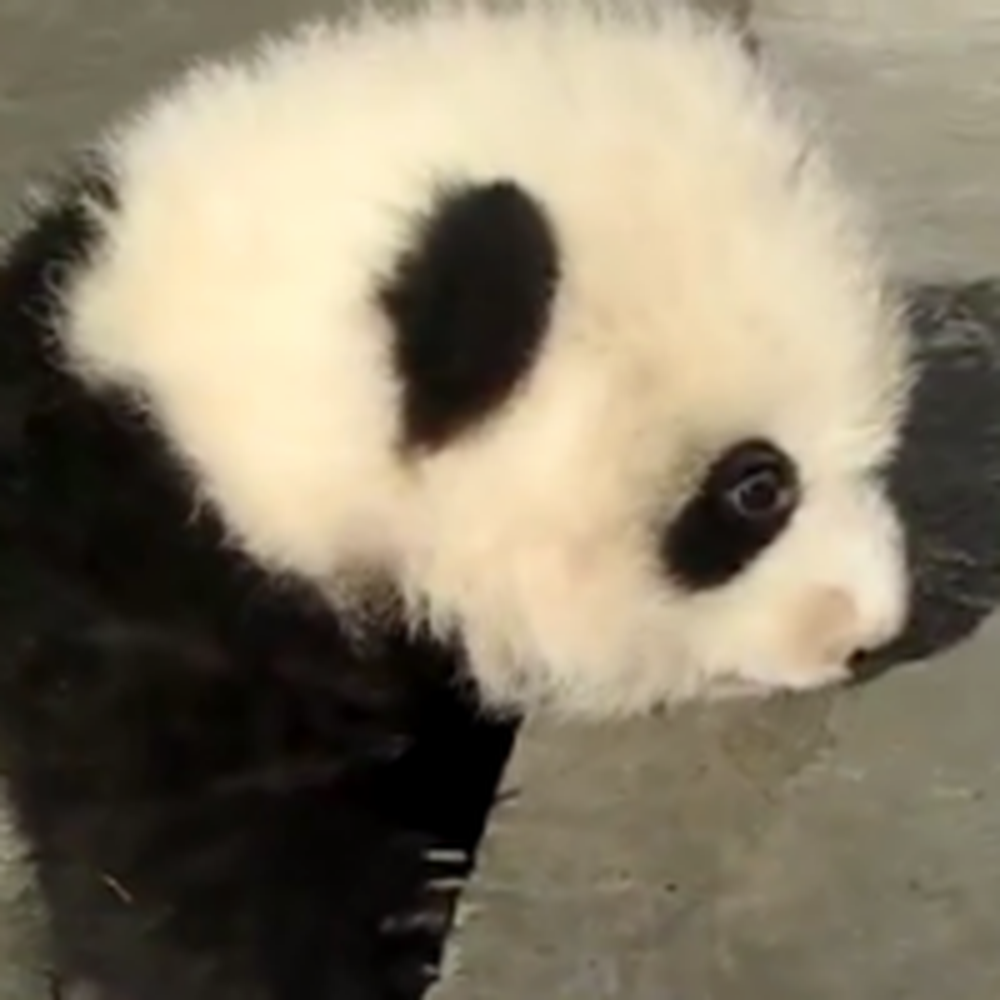 Frustrated Baby Panda Can't Get Up The Steps