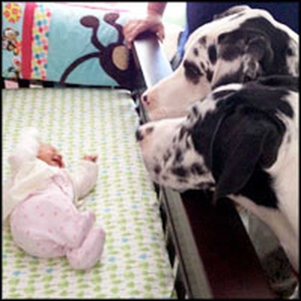 2 Great Danes Stand Guard Over Their Newborn Sister