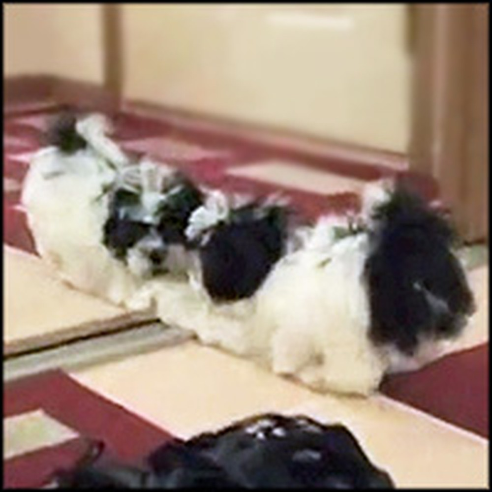 Cute Puppy Playfully Battles His Reflection in the Mirror