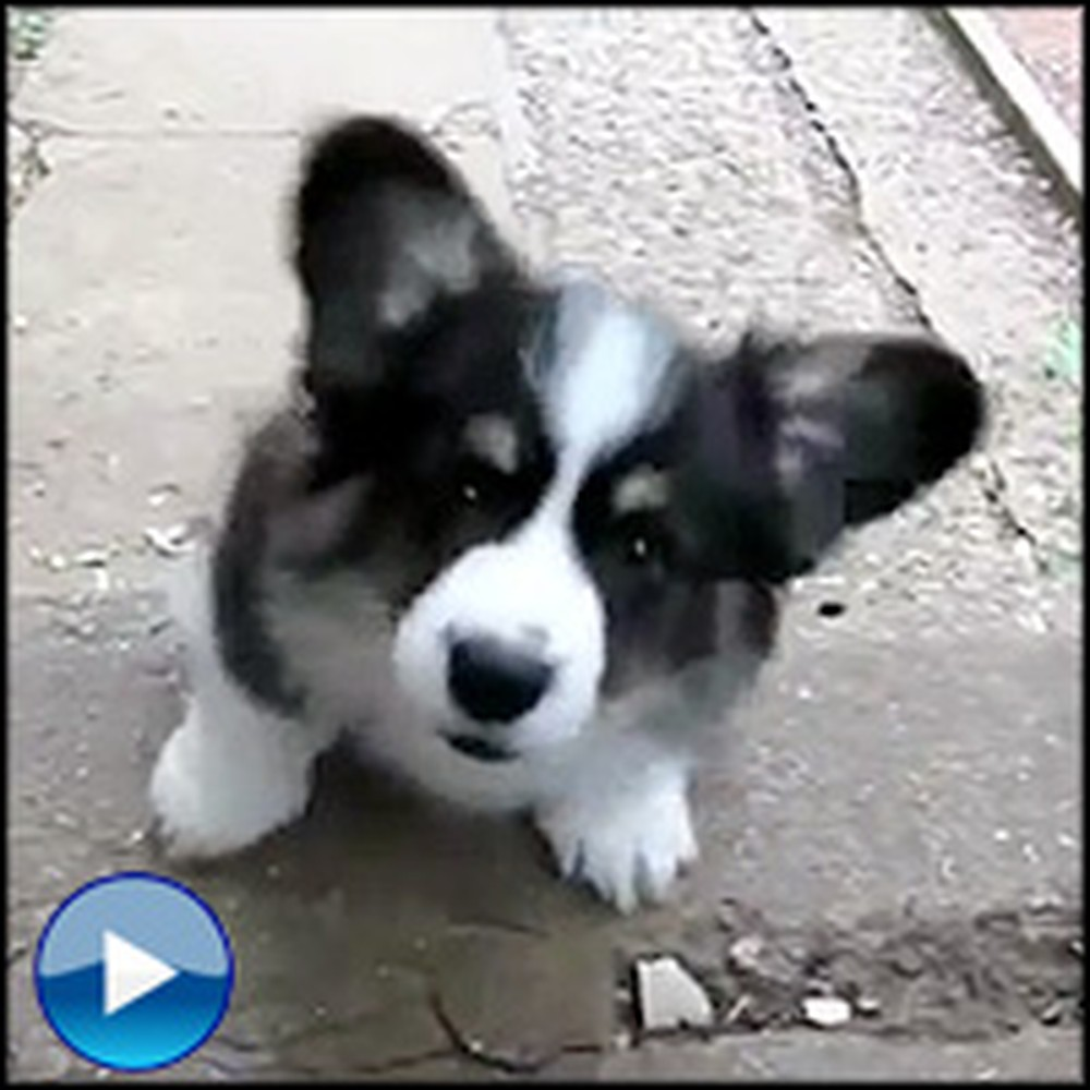 Sweetest Corgi Puppy Ever Attempts to Climb Stairs - He'll Steal Your Heart