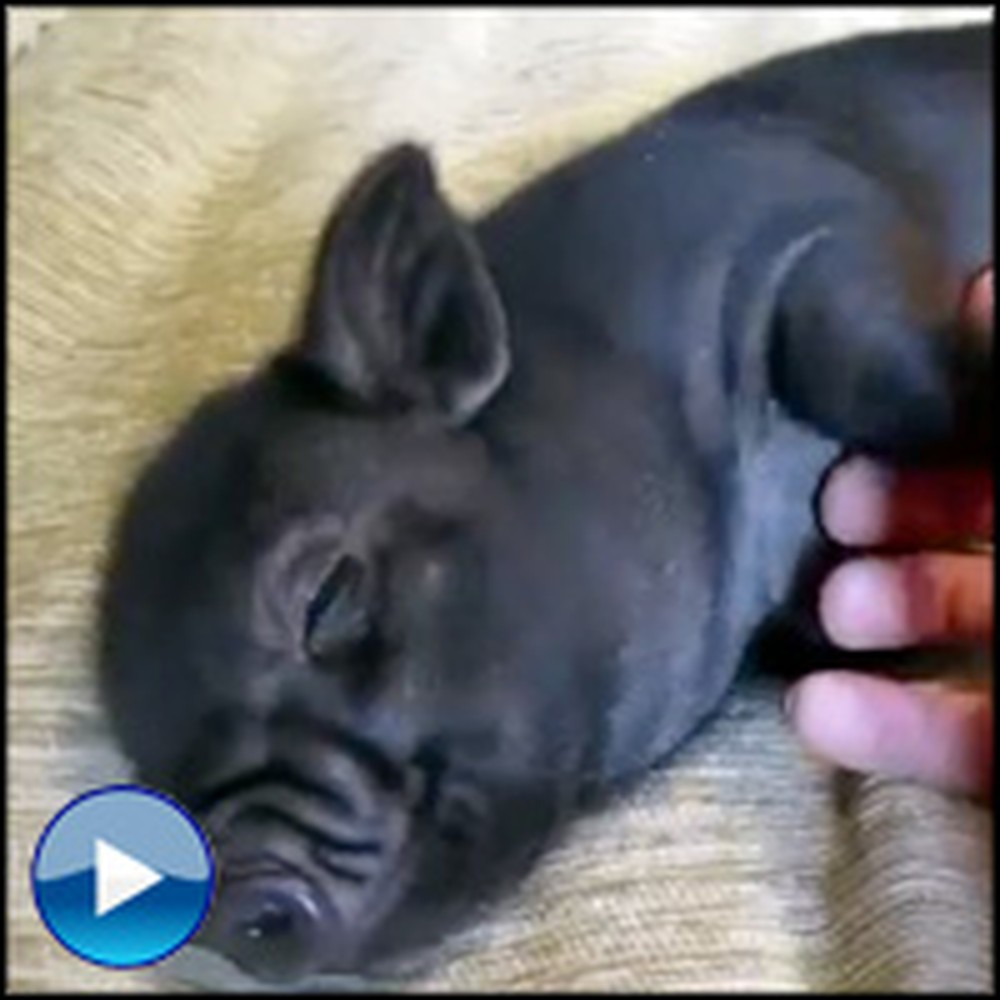 Watch This Adorable Mini Pig Get a Belly Rub - Aww