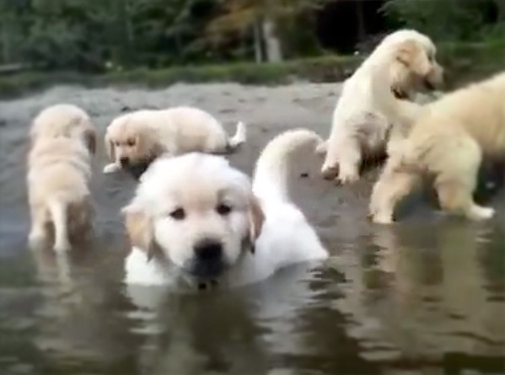 Fluffy Puppies Swim for the Very First Time - and It's So Precious!