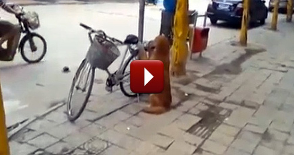 Best Dog Ever Guards a Bicycle - Then Does Something So Funny