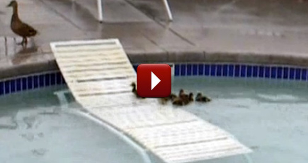 Smart Mommy Duck Saves her Ducklings in a Pool