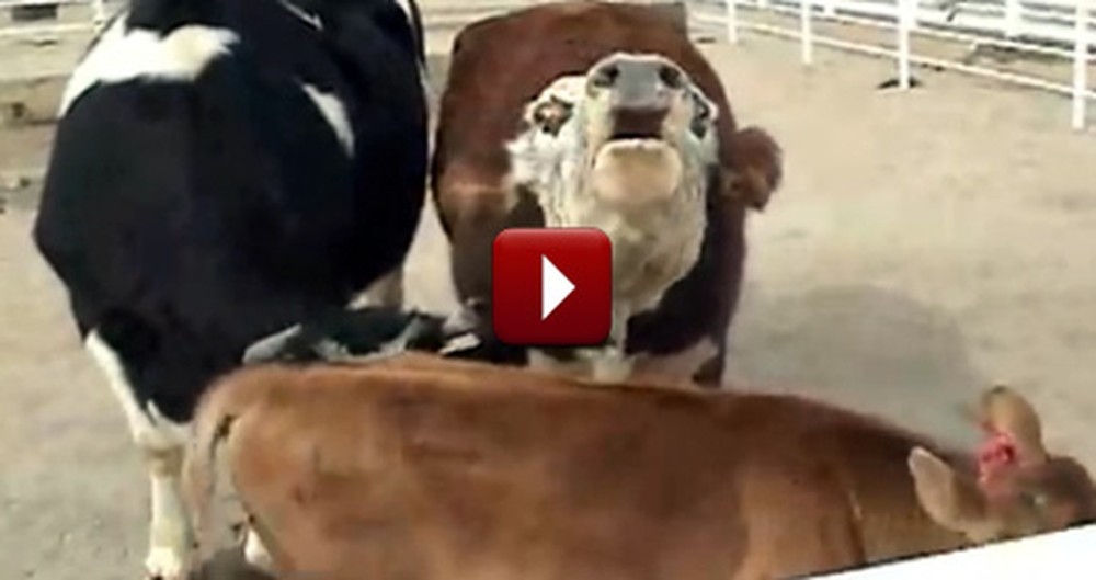 Cow Cries All Night Over Loss of her Calf - Then They Reunite
