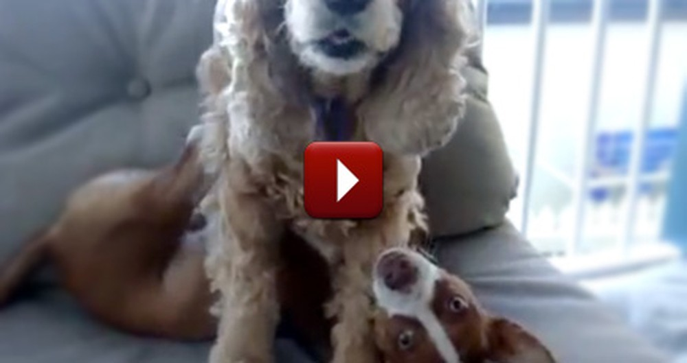 See What Stops These Dogs From Horsing Around... It's Too Funny