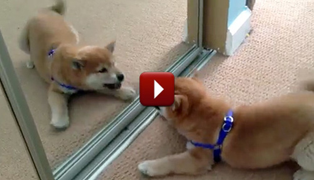 A Cute Shiba Inu Puppy Fights With Herself in the Mirror