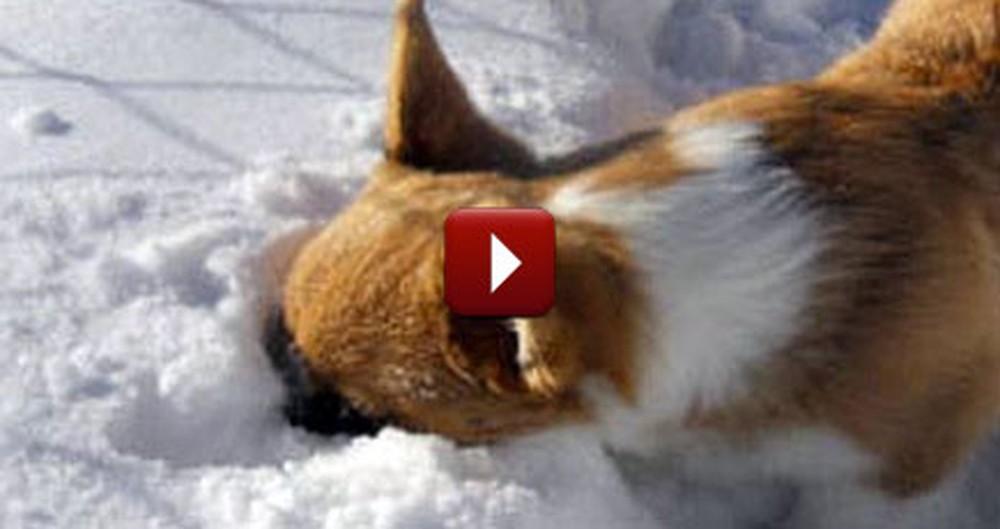 Adorable Corgi Flops Into a Big Pile of Snow - Too Cute