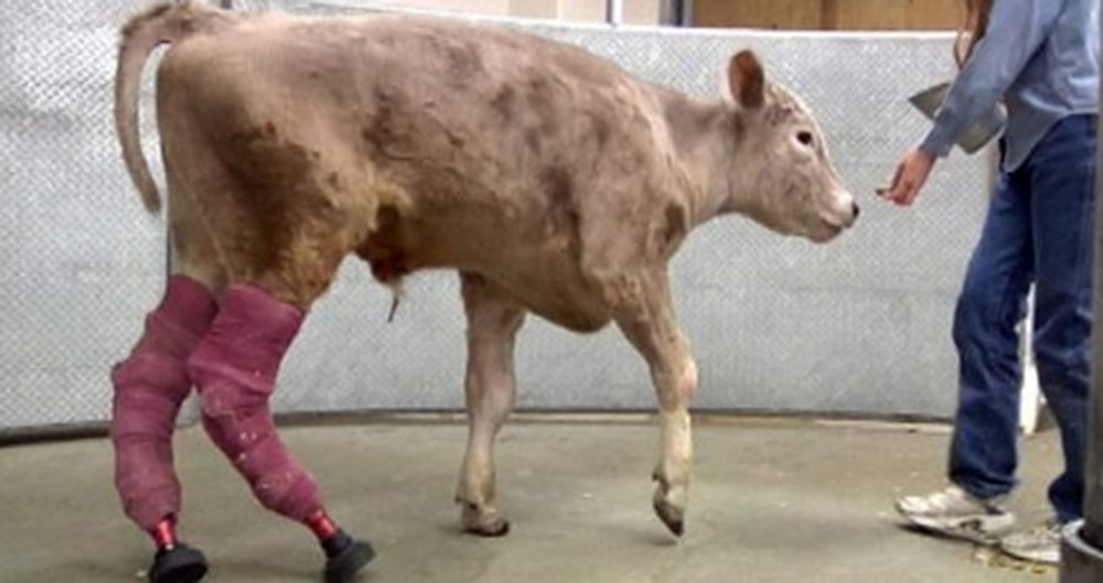 Kind-Hearted Doctors and Scientists Help a Frostbitten Calf Surivive