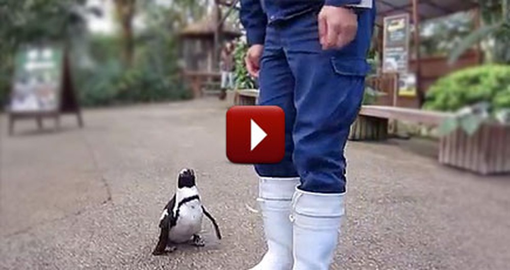 An Adorable Penguin Chases Around his Favorite Human - AWW