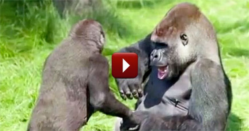 2 Gorilla Brothers Have an Emotional Reunion - You Need to See It