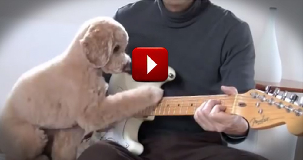 Adorable Dog Just Loves to Play Guitar with his Human--So Cute!