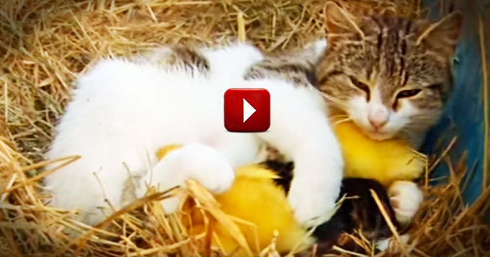 When This Cat Adopted Ducklings, I Thought It Couldn't Get Cuter.  Then I Saw The Kittens.