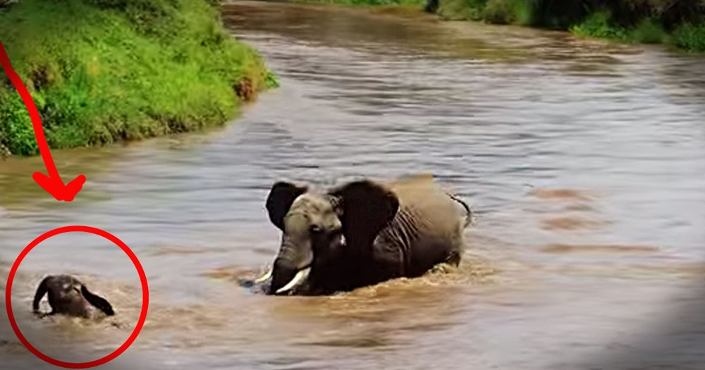 How This Baby Elephant Made It To The Shore Had Me On The Edge Of My Seat. Wow!